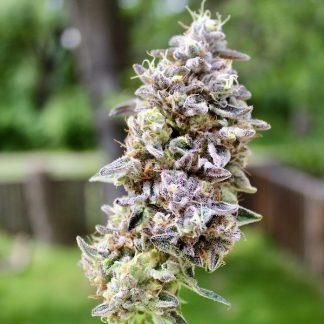 cannabis seeds, weed seeds, mandarin kush cake