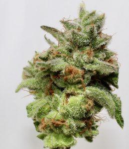 orange skunk cannabis seed flower